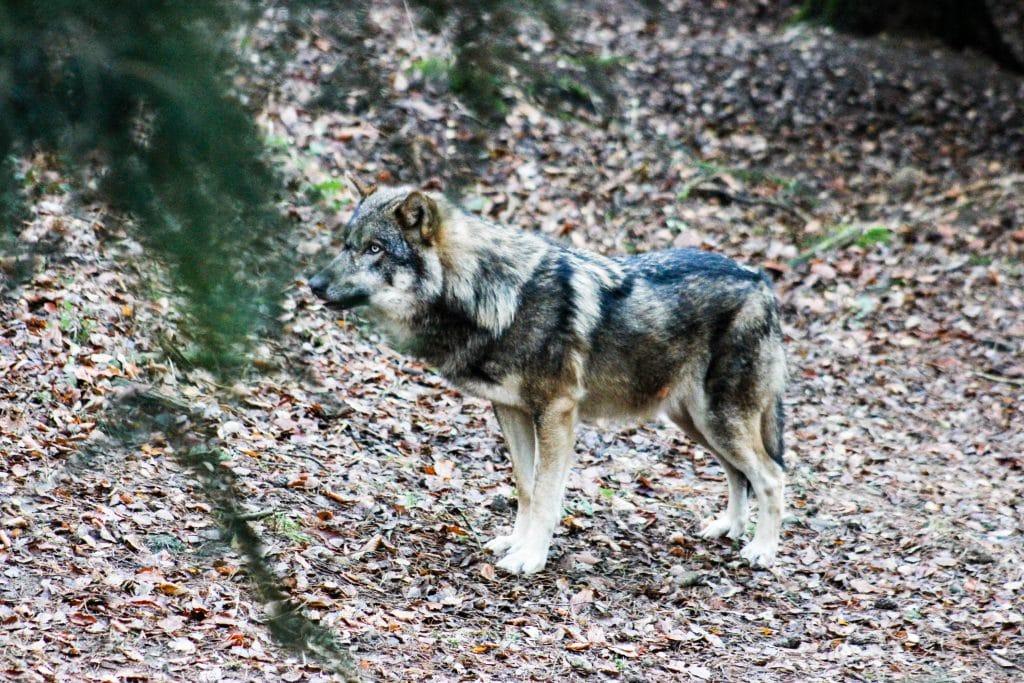 wolf wildpark hamburg