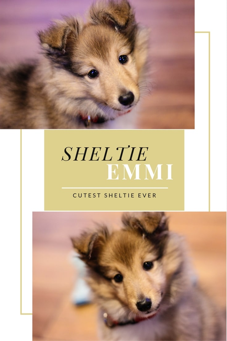 sheltie welpe emmi welcome home
