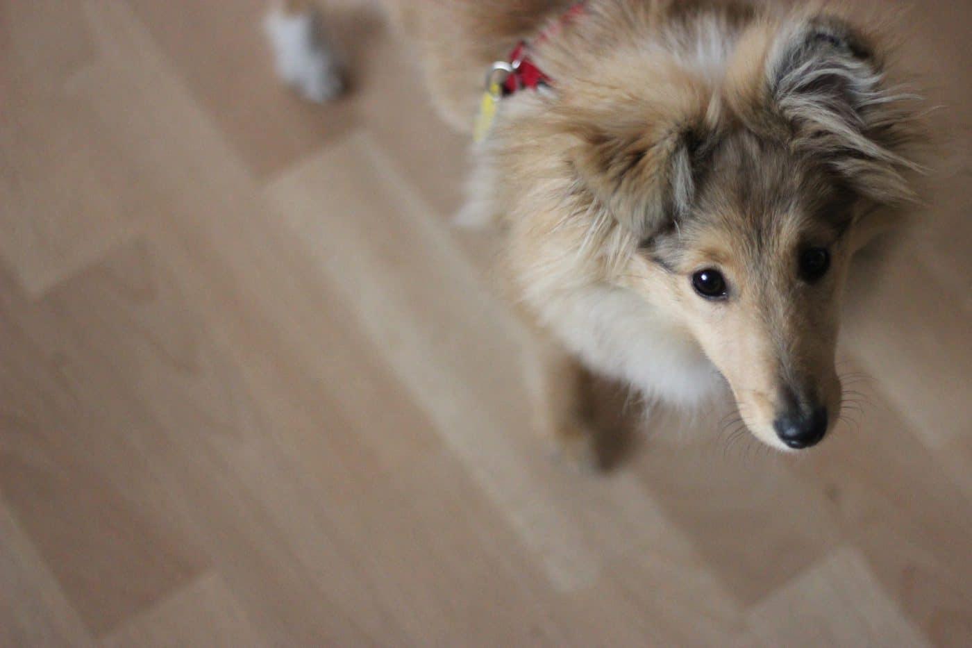 sheltie-emmi-shetland-sheepdog-bild4