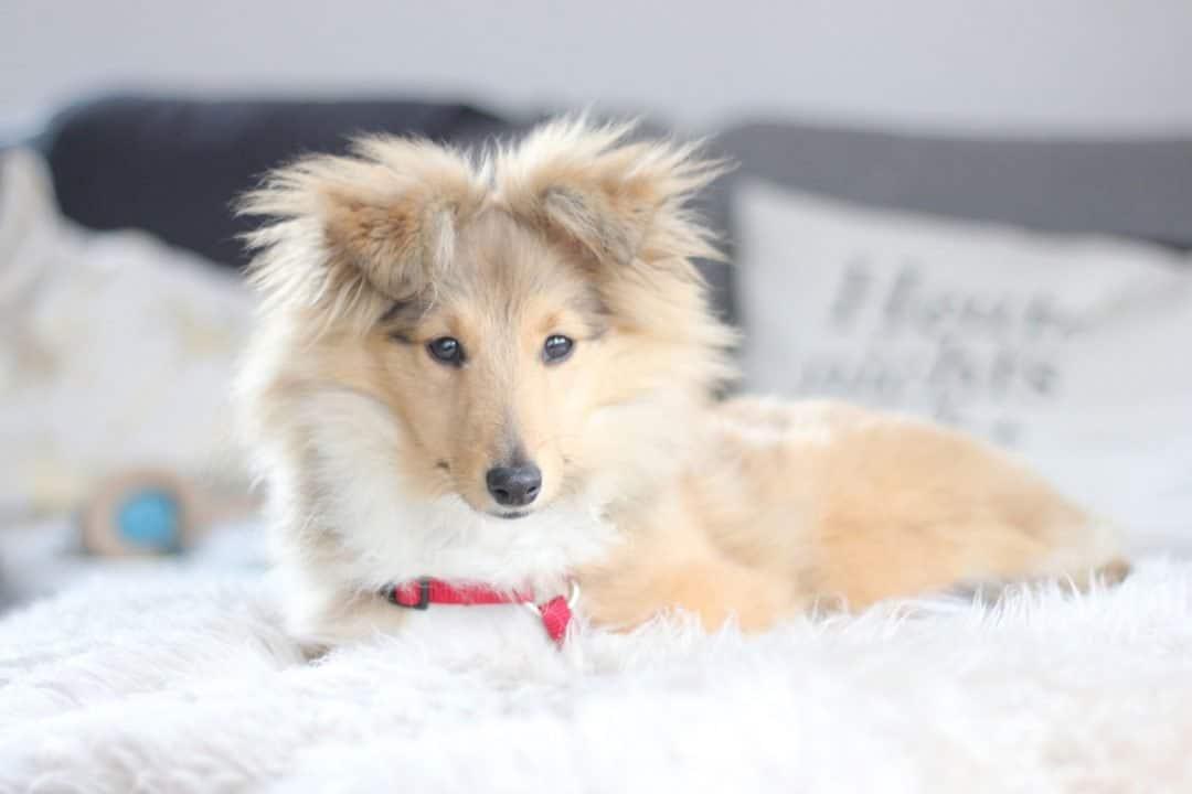 sheltie emmi update warum kein hundblog