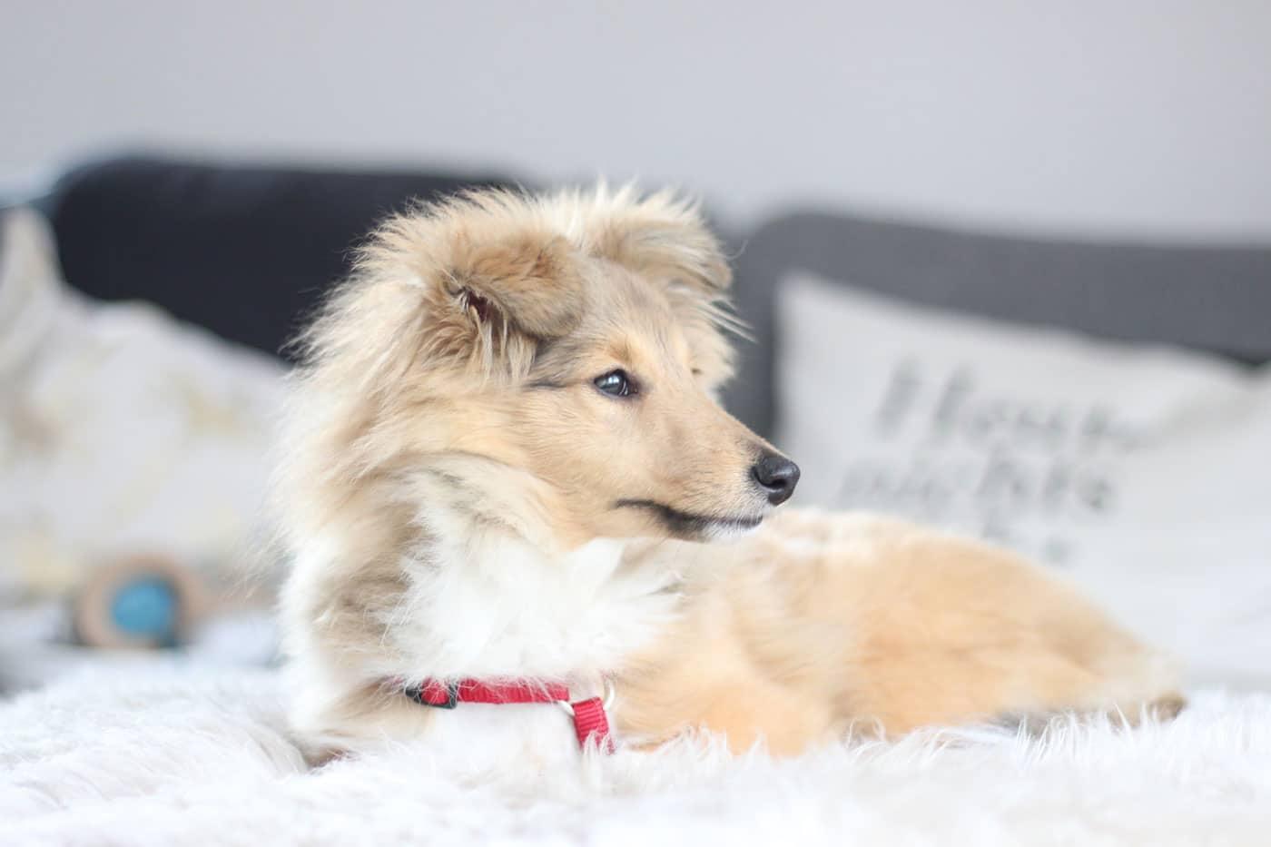 sheltie emmi shetland sheepdog