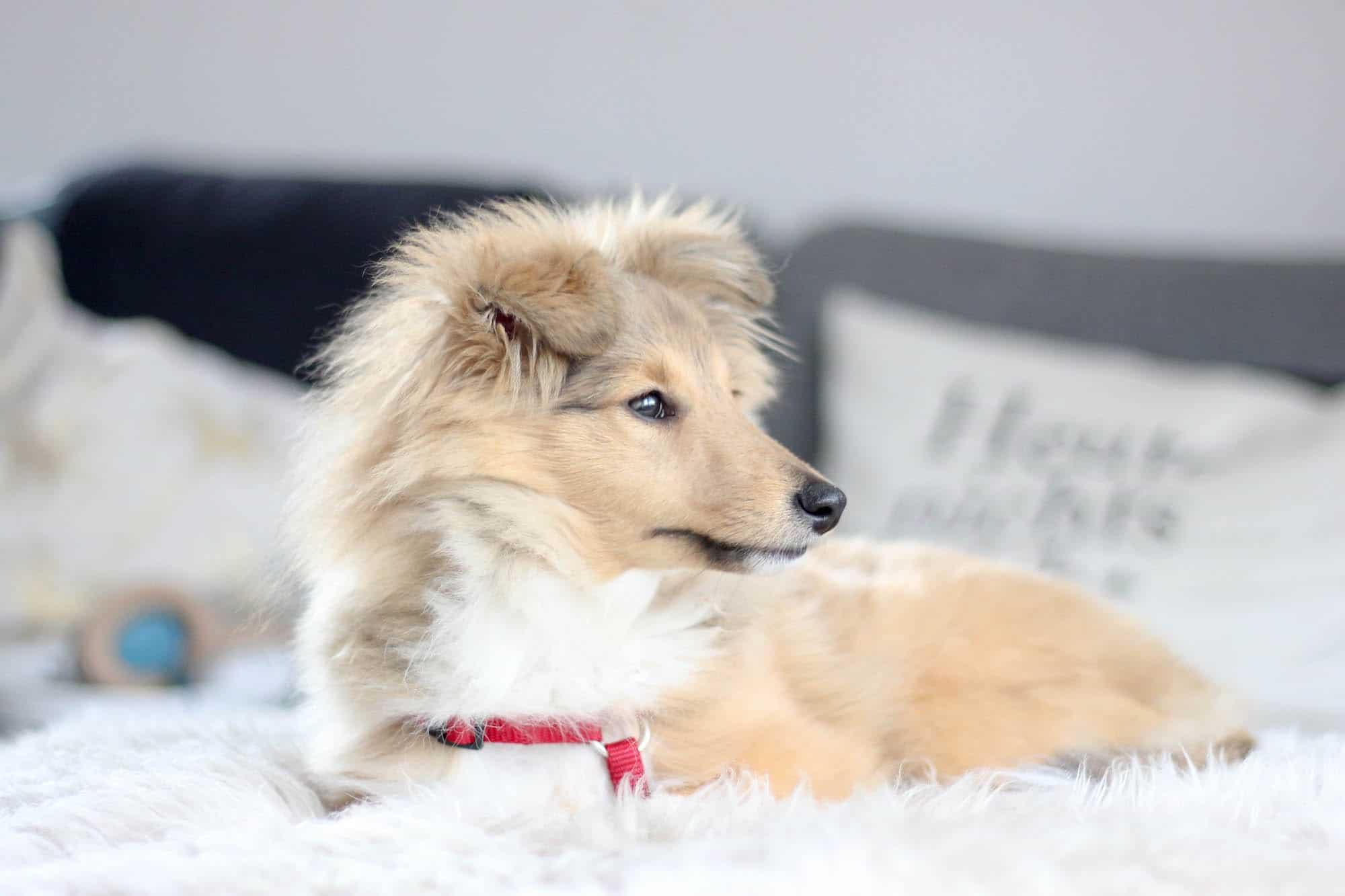 Ein Halbes Jahr mit Hund Sheltie Junghund Emmi