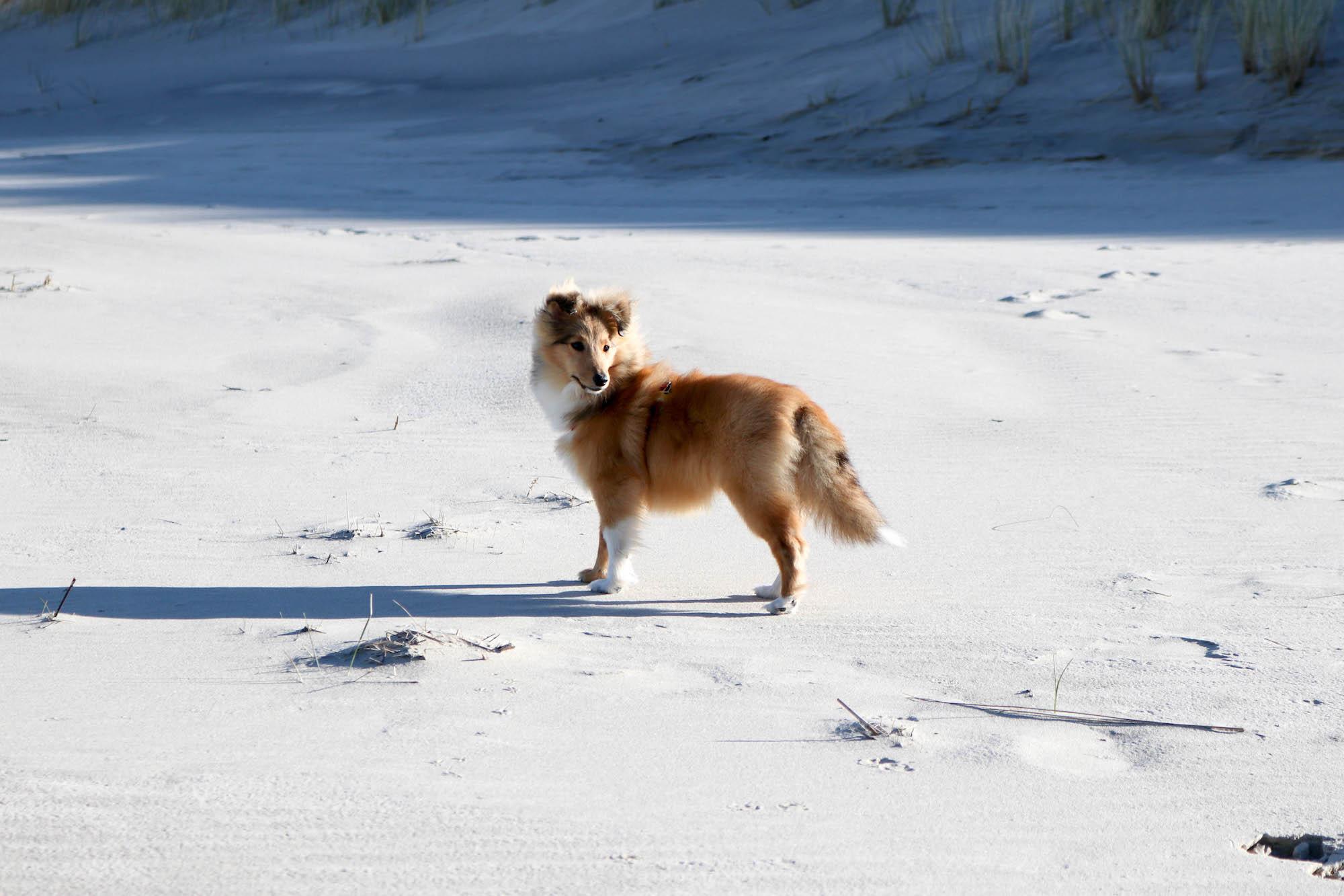 Ein halbes Jahr mit Hund Sheltie Weibchen