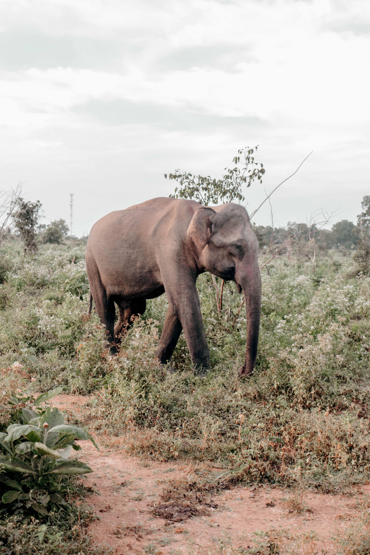 Safari in Sri Lanka asiatischer Elefant