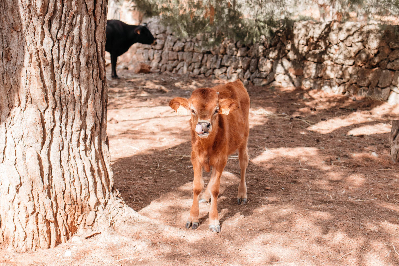 agrotourismo mallorca kalb mit mutter