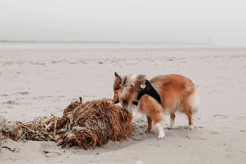 hund am strand von st. peter ording